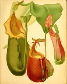 Veitch's Pitcher-Plant - Nepenthes veitchii - circa 1880 - usually grows as an epiphyte - frequently lives in trees Botanical Drawings, Botanical Illustration, Botanical Prints, Ivy Plant Indoor, Plant Monster, Garden Catalogs, Plante Carnivore, Pitcher Plant, Ivy Plants