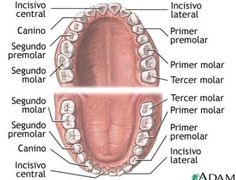 Los nombres de los dientes se resumen en cuatro categorias principalmente: incisivos, caninos, premolares y molares. Asi los nombres reales de las piezas dentales son los siguientes: Incisivo frontal: 2 arriba y 2 abajo. Incisivo lateral: 2 arriba y 2 abajo. Caninos: 2 arriba y 2 abajo. Premolares: Primer premolar 2 arriba y 2 abajo. Segundo premolar: 2 arriba y 2 abajo. Molares: Primer molar: 2 arriba y 2 abajo. Segundo molar: 2 arriba y 2 abajo. Tercer molar: 2 arriba y 2 abajo.