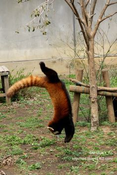 « I want a Red Panda just for Me! so beautiful »!