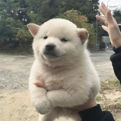 Better ask yourself do you want dog training hacks? Just go and visit our site to know more. Fluffy Animals, Cute Baby Animals, Animals And Pets, Cute Puppies, Cute Dogs, Dogs And Puppies, Doggies, Chien Shiba Inu, Tier Fotos