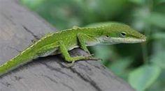 Geico gekko's bro?