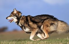 Utonagan is a dog that is much more similar to the classic wolf. Beautiful Dog Breeds, Beautiful Dogs, Animals And Pets, Baby Animals, Cute Animals, All Dogs, Dogs And Puppies, Doggies, Utonagan Dog