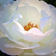 Transcendence - White Rose, digital photography, copyright 2014 @annaporterartist. Order prints online in my Instaprints Gallery at: http://instaprints.com/featured/transcendence-white-rose-anna-porter.html   #flower #white #rose #transcendence #sunlight #floral #art #annasgardens #floralart #floralphotography #rosegarden #rosecity #summer #garden #roses #flowers