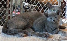 Google Image Result for http://bittsandbytes.net/ANIMALS/CATS/RUSSIAN_BLUE_CAT/Russian-Blue-Cat-and-kitten.jpg