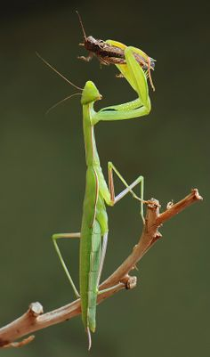 🔥 Praying Mantis catching the Prey! Cool Insects, Bugs And Insects, Weird Insects, Beautiful Bugs, Amazing Nature, Macro Photography, Animal Photography, Cool Bugs, A Bug's Life