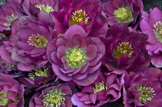 Helleborus Wedding Party series  3 inches across and double-petaled 'Wedding Bells' blooms white, 'Best Man' is soft purple, 'Blushing Bridesmaid' is a purple and white bicolor, 'First Dance' is greenish-white, and 'Maid of Honor' is rosy-purple. Walters Gardens Inc.