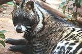 Kruger Park Wildlife Facts | Africa Mammals Guide...      Civet
