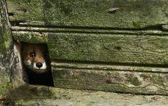 Vilde dyr overtager forladt hus i skoven | Anima.dk