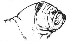 An Illustrated Guide to the Bulldog Standard, English Bulldog Standard, English Bulldog Colors, English Bulldog Size Bulldog Pics, Bulldog Puppies, Baby Bulldogs, Pug Love, Bullies, Pugs, Heaven, English, Club