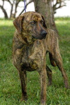 ***URGENT!!!*** - PLEASE SAVE ME!! - EU DATE: 7/18/2014 -- ethan  Breed: Plott Hound / Mixed (short coat) (mix breed) Age: Adult Gender: Male  Size: ,  Shelter Information:   Johnson City/Washington Co. Animal Shelter  525 Sells Ave   Johnson City, TN  Shelter dog ID: 9 Contacts:  Phone: 423-773-8510  Name:  Hannah Greene  email: jcanimalshelter@embarqmail.com
