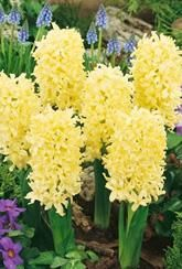 Hyacinth Yellow Queen.