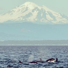 """""""Tonight brought a beautiful encounter with the T65As and T77s beneath the gaze of Mt. Baker. #orca"""