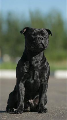 Staffy Bull Terrier, Staffy Dog, Terrier Breeds, Staffordshire Bull Terrier, Dog Breeds, Cute Cats And Dogs, I Love Dogs, Baby Dogs, Pet Dogs
