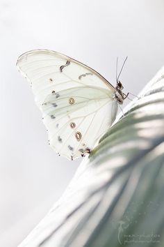 White butterfly I imagine is seeking a white flower.