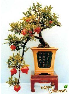 Bonsai Tree - Punica Pomegranate