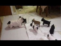 French bulldog playing with his pups by dykwilabjae, youtube #Dogs #French_Bulldog #Youtube