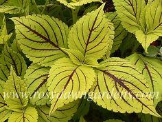 """Gay's Delight"" coleus..would look great in a planter with dark black/purple petunias"