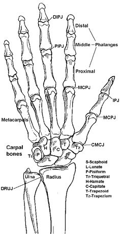 Joint and Bones of the Hand, including the bone sof the wrist ( scaphoid, lunate, Pisiform, triquethal, Hamate, Capitate, trapezoid, trapezium)  #skeleton #anatomy #medicine