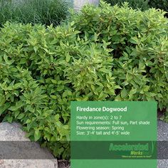 Firedance Dogwood