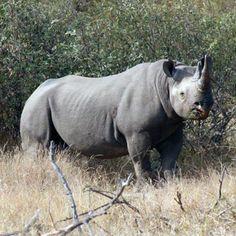 Black Rhino on Balule Game Reserve Game Walk