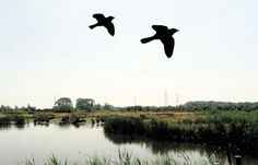 @Kim Schulz Wales Argus PIC OF THE DAY 16.07.13: Birds taking flight at Newport Wetlands  Pic: MARK LEWIS