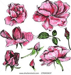 flowers of pink roses, drawing by watercolor, isolated garden blossoms, buds and leaves, hand drawn design elements