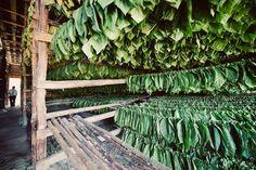 Havana tobacco farm