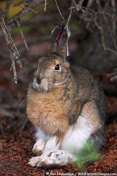 Superb Nature, superbnature:   Snowshoe Hare