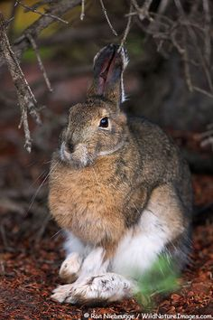 Hare by Ron Niebrugge