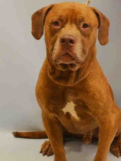 RETURNED 07/31/15 LLORDPRIVA --- RTO SAFE 09/10/14 --- Manhattan Center TRIGGER aka TYLER - A1013443 MALE, RED, DOGUE DE BORDX MIX, 7 yrs OWNER SUR - EVALUATE, NO HOLD Reason PERS PROB Intake condition EXAM REQ Intake Date 09/08/2014, http://nycdogs.urgentpodr.org/tigga-aka-trigger-aka-tyler-a1013443/