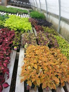 Ahhh spring is finally here! We love the bright colors of these plants. Gorgeous orange, red, maroon, and green foliage.