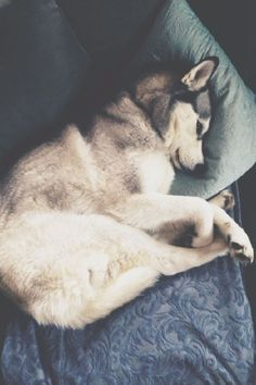 Hope to have one accompany me, while on my trip in Antarctica #sogorgeous #huskylover