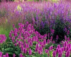 "Stachys 'Hummelo' Prefers well-drained soil in sun or part shade. Height 50cm (20""). Spread 70cm (28""). Hardy perennial."