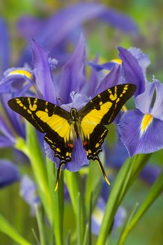 Tropical Butterfly on Dutch Iris, Eurytides thyastes, photograph by: Darrell…