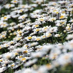 Spring Blossom (Daisy Fleabane)  DDD    CopyrightⓒNAKIzm