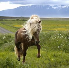 Horse - wild mane - running in a field near the mountains