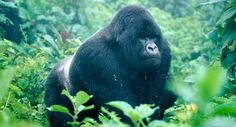 Just over 780 mountain gorillas remain in the world today. Two isolated populations survive, one in the Bwindi Impenetrable National Park, south-western Uganda, and the other on the forested slopes of the Virunga volcanoes, straddling the borders of the Democratic Republic of Congo (DRC), Rwanda and Uganda.