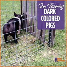 Show Pig Skin Care Light vs. Dark - Sure Champ Online Pet Supplies, Dog Supplies, Pig Showing, Showing Livestock, Livestock Judging, Pot Belly Pigs, Pig Pen, Teacup Pigs, Cheap Pets