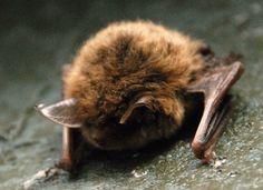 Bats on Pinterest | Bats, Bat Tattoos and Baby Bats