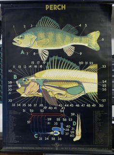 Vintage PERCH Biological Pulldown Chart 1938