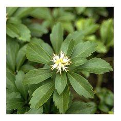 Pachysandra - Plantes et Jardins