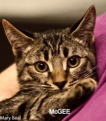 McGee is an adoptable Domestic Short Hair-Gray Cat in Prescott, AZ. The McGee's Contact Info *** Questionnaire *** If you would like to meet  McGee, please download the questionnaire, fill it out and ...