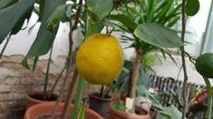Лимон из косточек: посев, формирование, подкормки, борьба с вредителями на Supersadovnik.ru