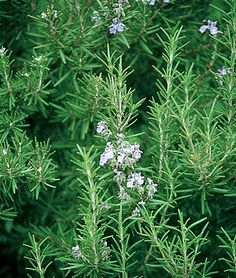 """Herb, Rosemary  Aromatic & Delicious Flavor  Enhances marinades, salad dressing, sauces, soups and stuffing. Perennial, zones 8-10. Start INDOORS about 10 weeks before last anticipated frost. Sow seeds 1/4"""" deep in seed starting formula and keep evenly moist. Seedlings emerge in 14-21 days at 70°F. Plant outdoors after danger of last spring frost, setting plants 18"""" apart."""