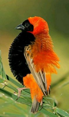 Image of displaying - 5049224 - Male red bishop bird stock photo. Image of displaying – 5049224 Male red bishop bird. (Euplectes orix) displaying with puffed feathers, South Af , Kinds Of Birds, All Birds, Cute Birds, Pretty Birds, Little Birds, Beautiful Creatures, Animals Beautiful, Cute Animals, Exotic Birds