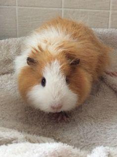 Amy, my Swiss guinea pig.