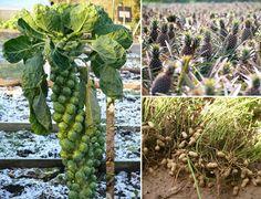 15 frutas e legumes que você não imaginava que nasciam dessa forma