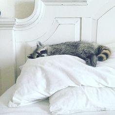 """Just three more min...hours."" #pumpkintheraccoon #raccoon #tbt #instalike #instagram #instagood #weeklyfluff #love#pet"