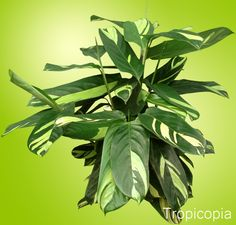 Green and white patterned Ctenanthe Plant