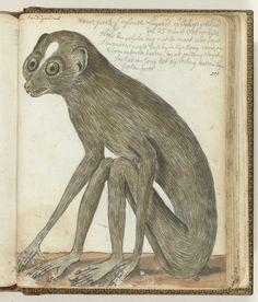 Ceylonse luiaard, Jan Brandes, 1786
